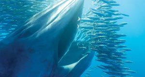 Baleine en train de manger